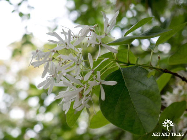 Tree of the Month: Chinese Fringe Tree
