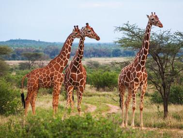 Giraffe Facts!