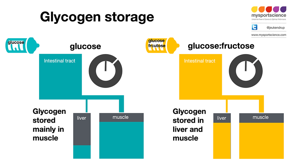 Liver and muscle glycogen synthesis