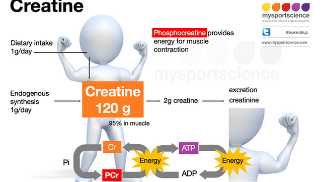 Creatine and its effects on performance