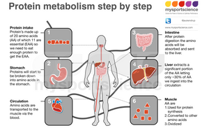 Protein metabolism step by step