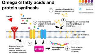 """Can omega 3s """"muscle in"""" on protein synthesis rates?"""