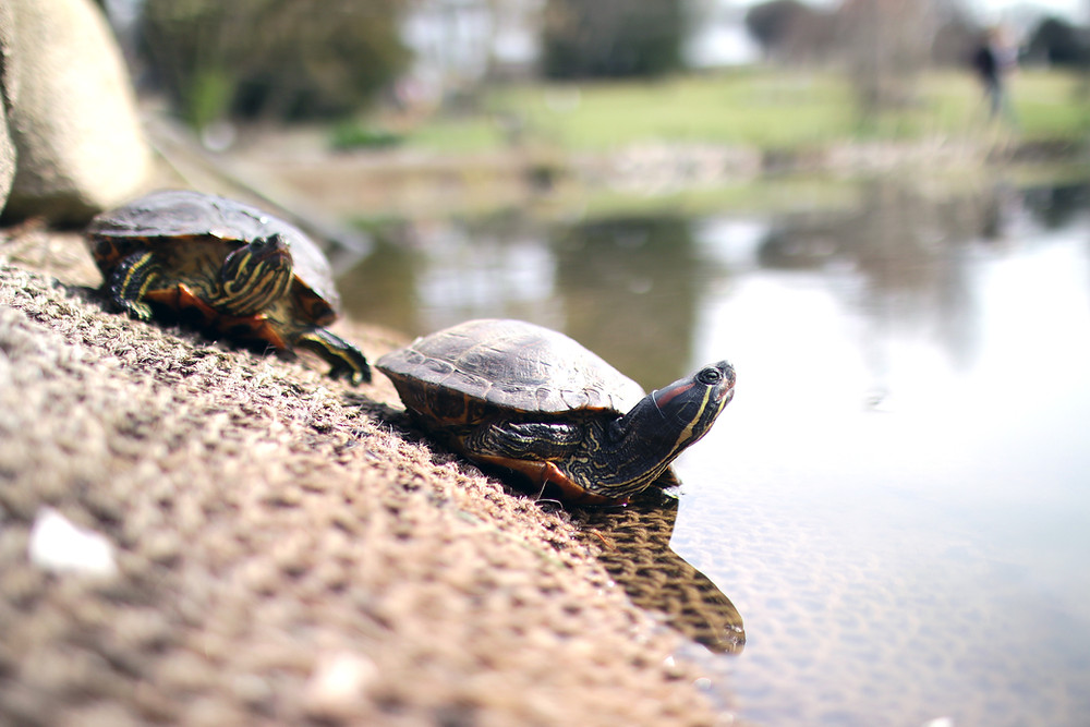 Two turtles entering a pond