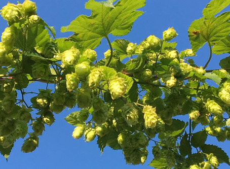Verbouwen hop en tarwe t.b.v. Hosenhym bier