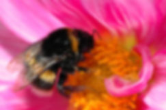 Honey bee cllecting nectar from a dahlia flower.