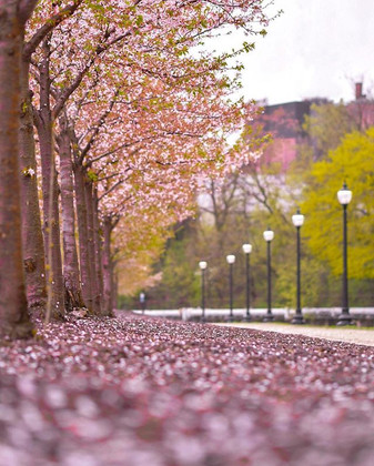 Cherry Blossoms are almost gone.jpg