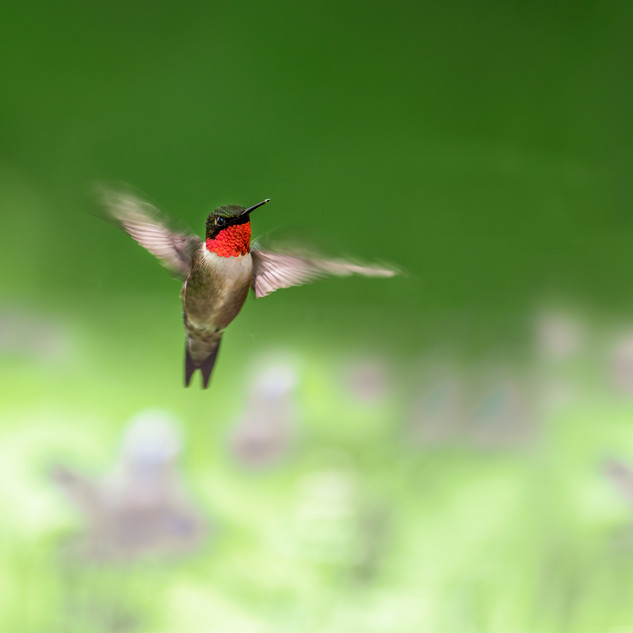 Male Ruby Throated Hummingbird