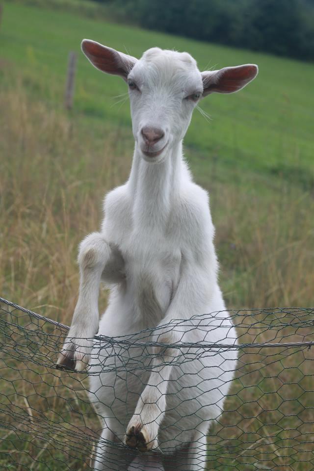 slovenská koza
