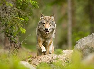 Glenn_Mattsing_wolf.jpg