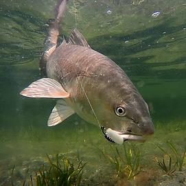 redfish2.webp