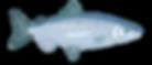 salmonwatercolour.png