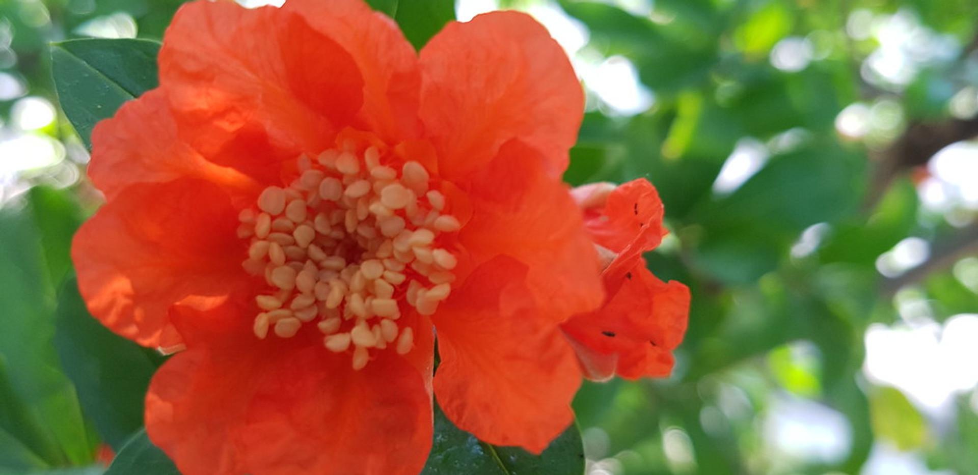 Il fiore della melagrana | di Davide Marchese