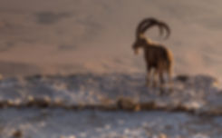 A fearless ibex overlooks the Ramon Crat