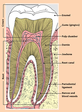 Tooth anatomy and decay
