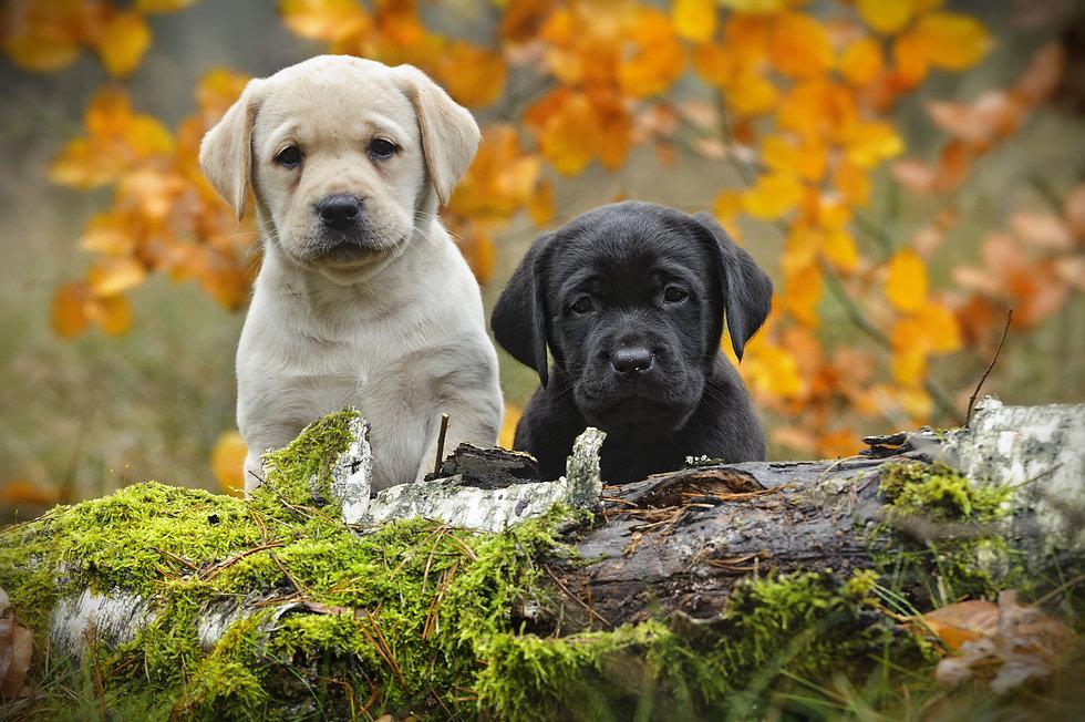 Yellow and black Labrador retriever pupp