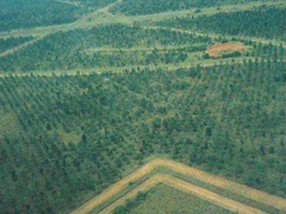 L'ombre des pins a fait augmenter le pH du sol de 4 à 5 en l'espace de 10 années, permettant à d'autres plantes de pouvoir croître – Photo Las Gaviotas