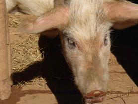 Petit cochon... devenu grand !