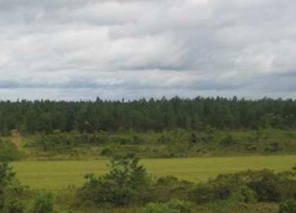Les arbres retirés de cette forêt sont utilisés pour produire de la chaleur via des machines à vapeur - Photo Las Gaviotas