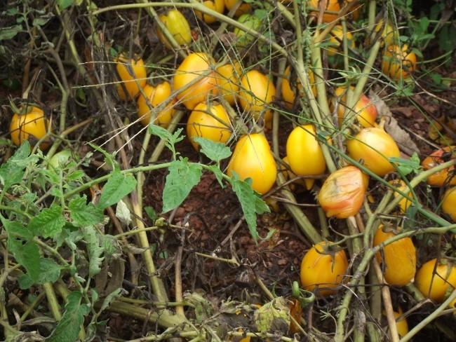 Les tomates poussent, sans eau et sans tuteur, dans la ferme de Pascal Poot en 2014 - DR