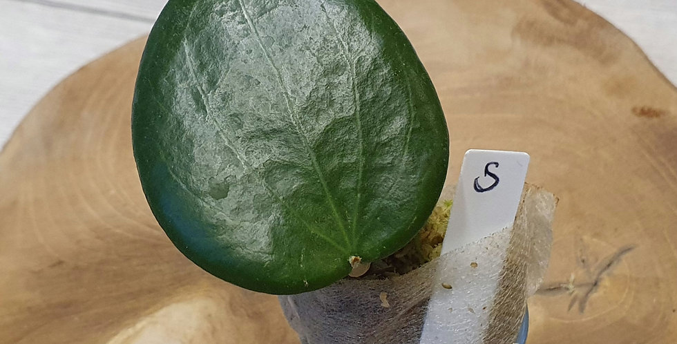 Hoya verticillata (former nicholsoniae)