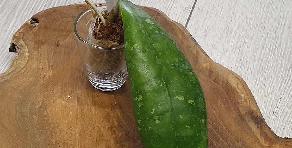 Hoya finlaysonii (dark flower)