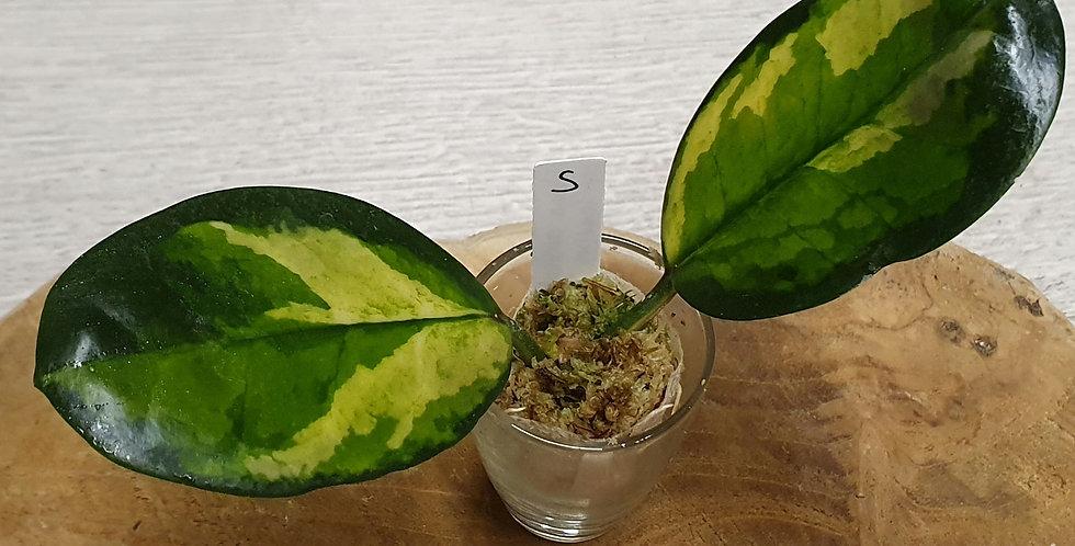 Hoya australis ssp. tenuipes 'Lisa'