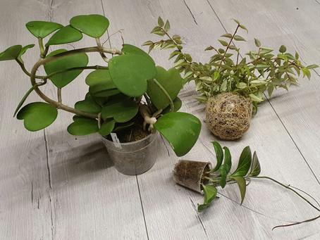 #365 days of Hoya Nr.3 Spaghnum Moss