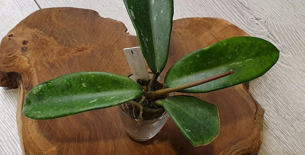 Hoya gonoloboides