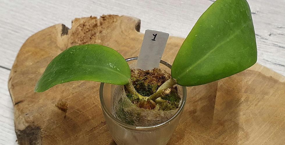 Hoya elmeri (former mindorensis) (Red flower)