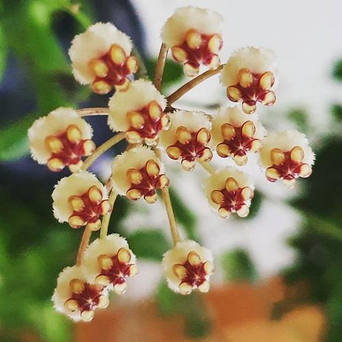 Hoya breveliata