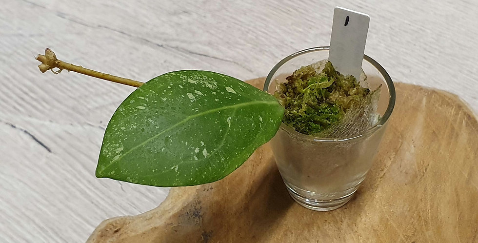 Hoya erythrostemma (Red Corona)