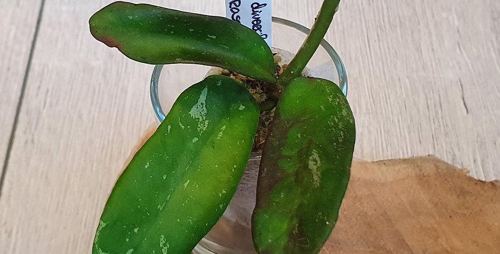 Hoya diversifolia ssp. crassipes