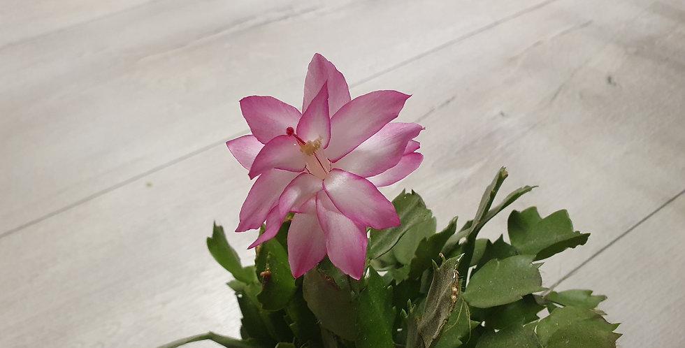Schlumbergera 'Pink'