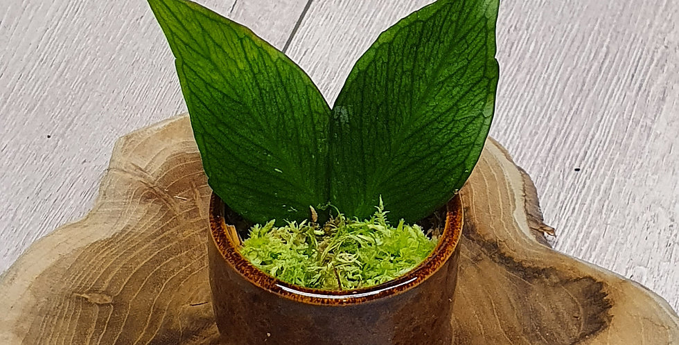 Hoya polyneura (Fishtail Hoya)