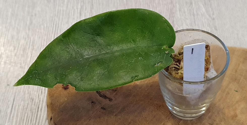 Hoya onychoides