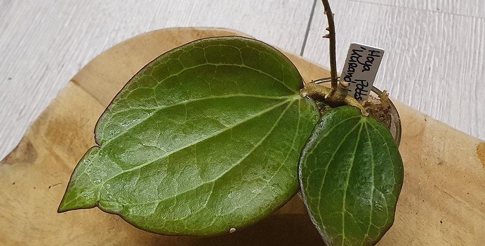 Hoya pottsii 'Kuranda' IML0039