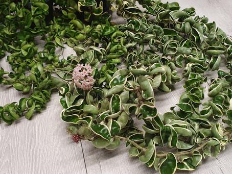 #365 days of Hoya Nr.4 Hoya compacta, a species, cultivar or a just a humongous mutated monstrosity?