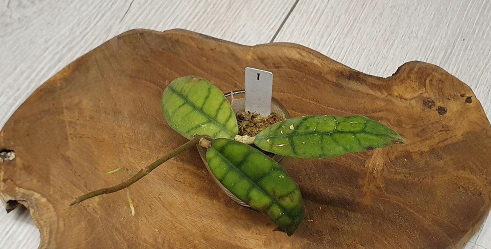 Hoya callistophylla (long leaves)