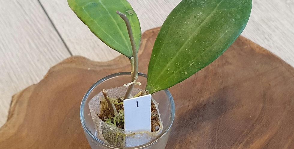 Hoya bhutanica