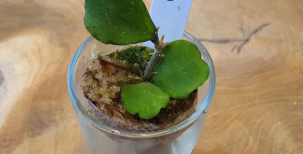 Hoya kanyakumariana