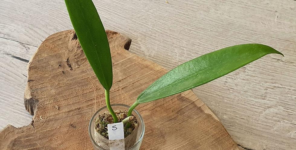 Hoya pubicorolla ssp. anthracina