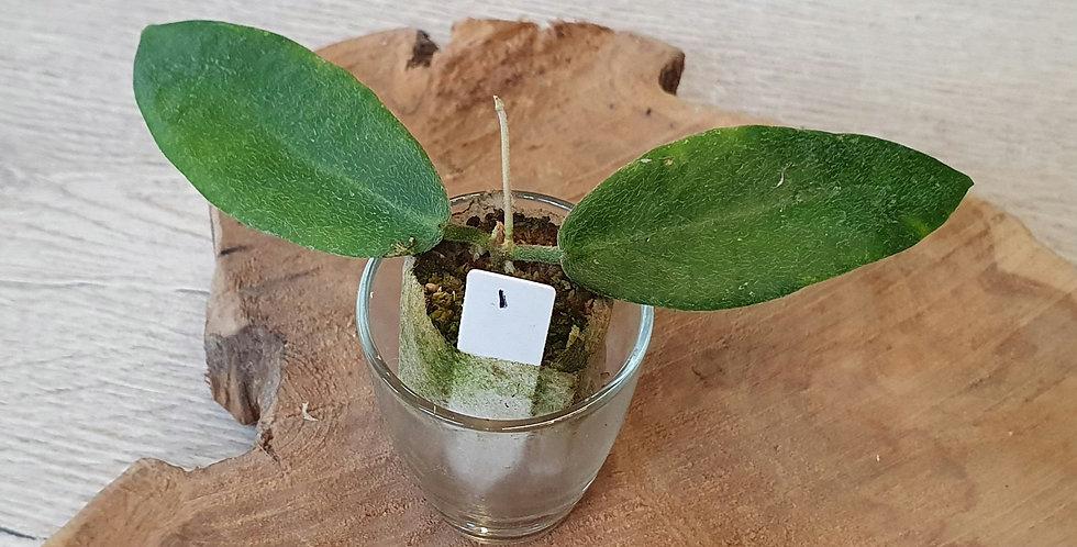 Hoya patella (White flower)