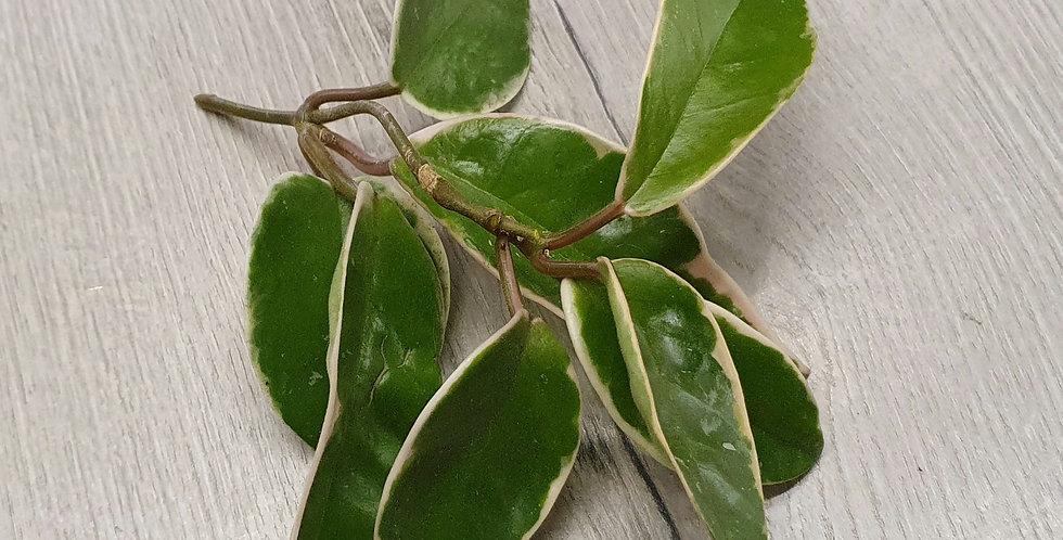 Hoya carnosa 'Krimson Queen' (Unrooted)