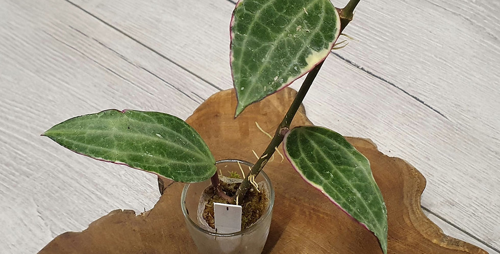 Hoya macrophylla 'Albomarginata'