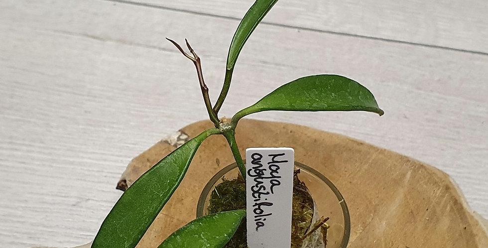 Hoya angustifolia