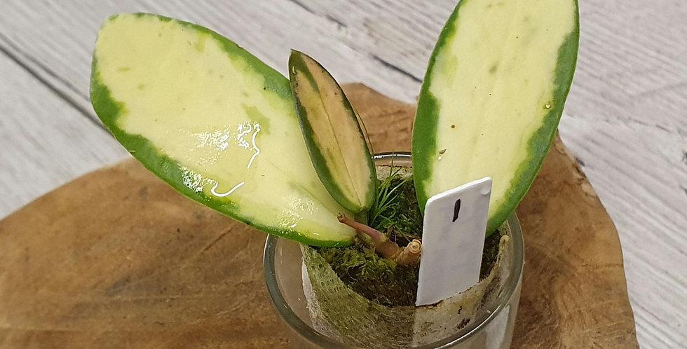 Hoya verticillata var. verticillata 'Variegata'