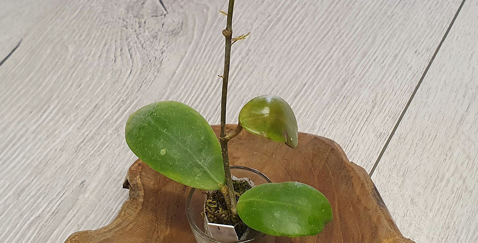 Hoya elmeri (former mindorensis red flower)