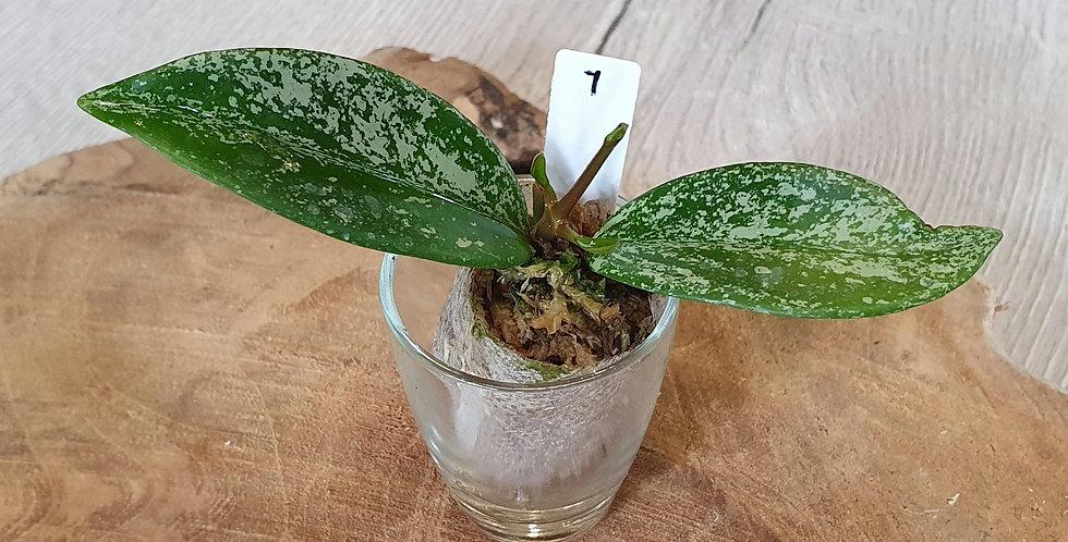 Hoya pubicalyx 'Pink Silver'