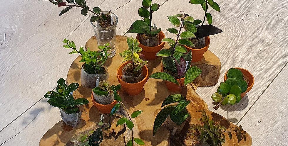 Suprisebox Gesneriaceae