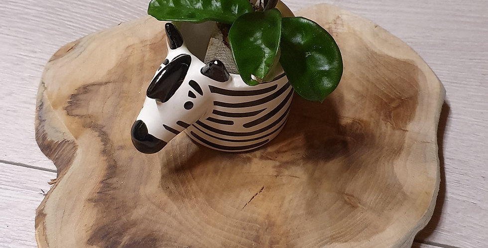 Hoya carnosa 'Krinke 8'